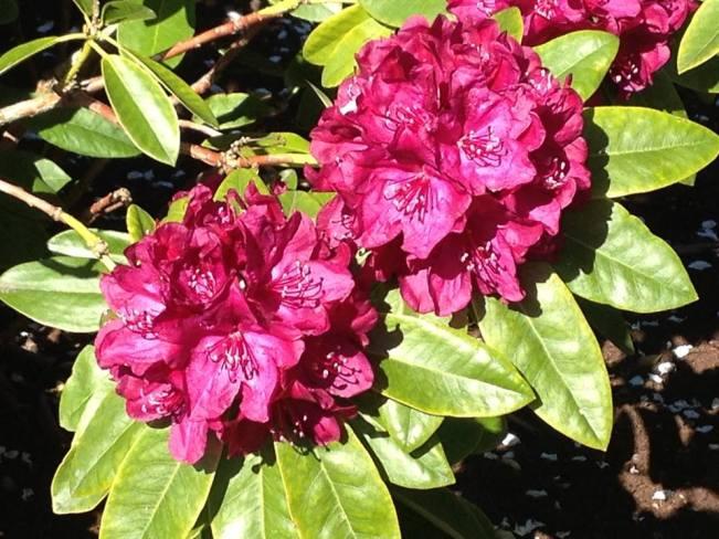 hibiscus-flowwer
