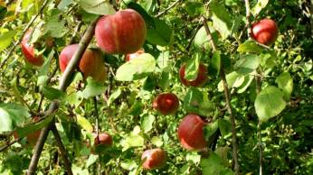 *Danish Apples in season*