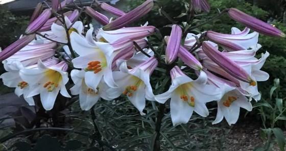 tulip 2 (3)