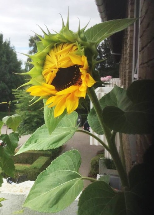 sunflower 2 (2)